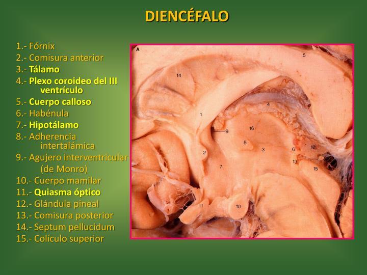 PPT - Neuroanatomía PowerPoint Presentation - ID:1896738