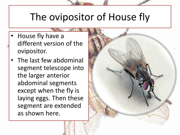The ovipositor of House fly