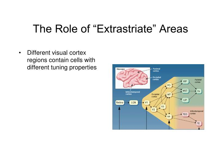 """The Role of """"Extrastriate"""" Areas"""
