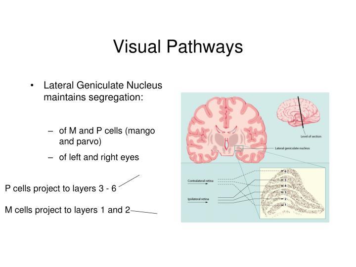 Visual pathways1