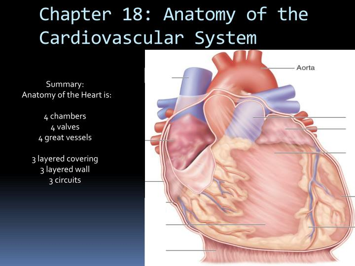 PPT - Chapter 18: Anatomy of the Cardiovascular System PowerPoint ...