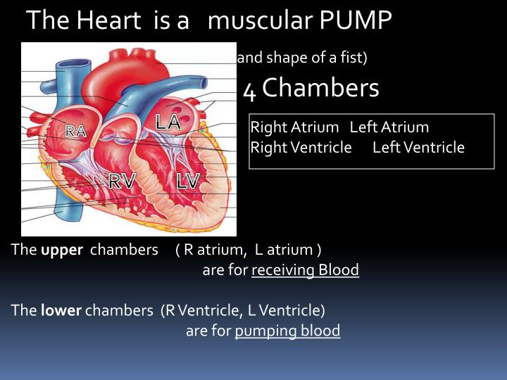 Ppt Chapter 18 Anatomy Of The Cardiovascular System Powerpoint