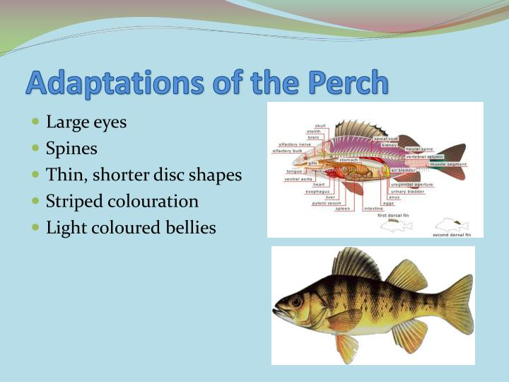 Adaptations of the Perch