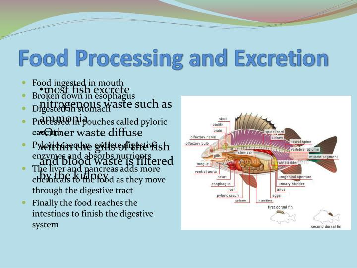 Food Processing and Excretion