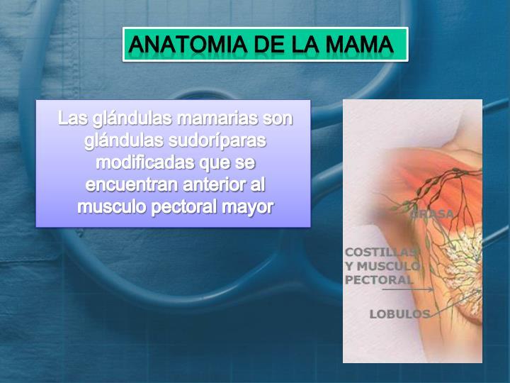 PPT - ANATOMIA DE LA GLÁNDULA MAMARIA PowerPoint Presentation - ID ...