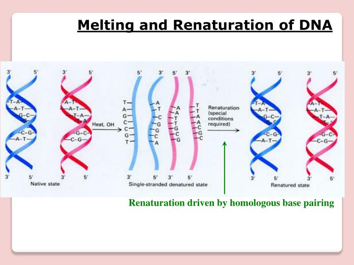 Melting and Renaturation of DNA