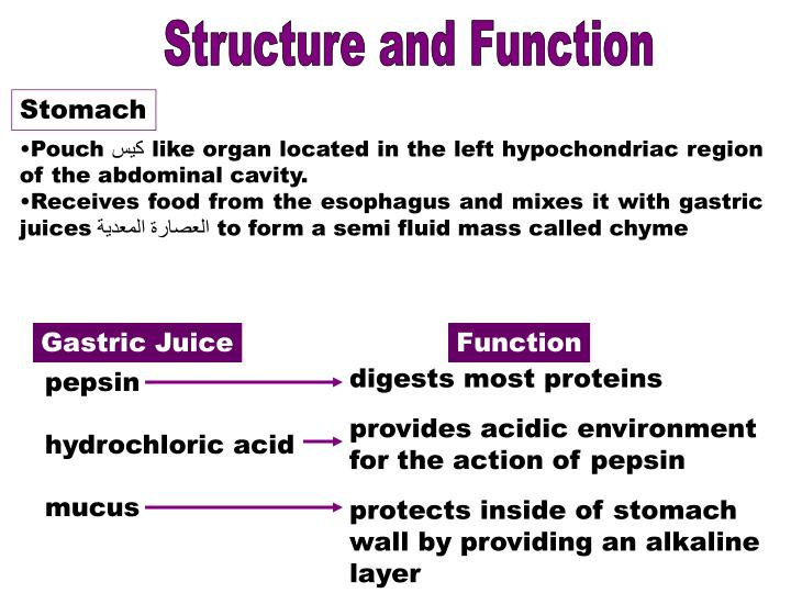 PPT - Digestive system PowerPoint Presentation - ID:1898501