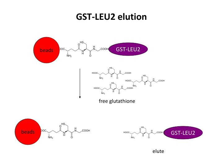 GST-LEU2 elution