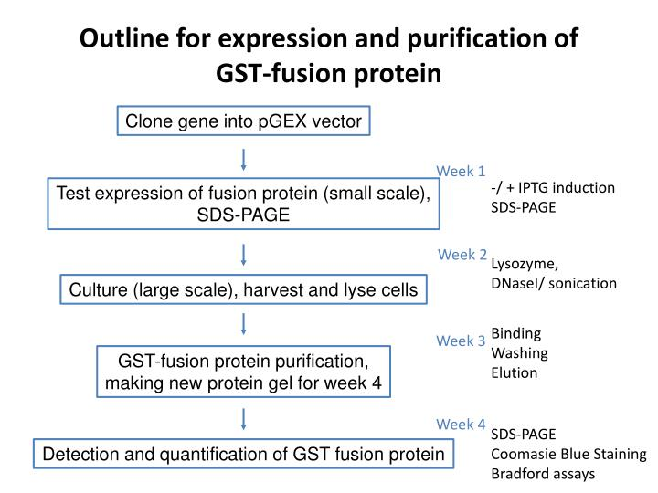Outline for expression and purification of GST-fusion protein