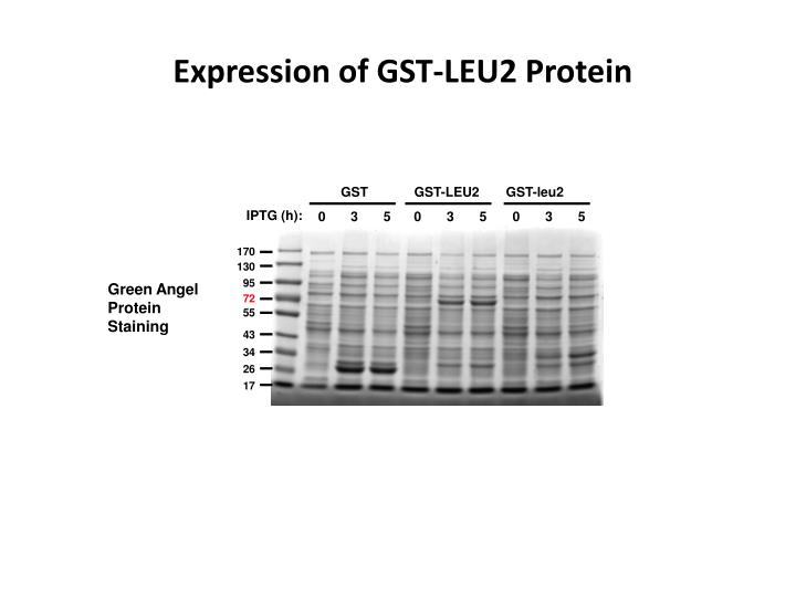 Expression of GST-LEU2 Protein