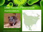 deer mouse peromyscus maniculatus