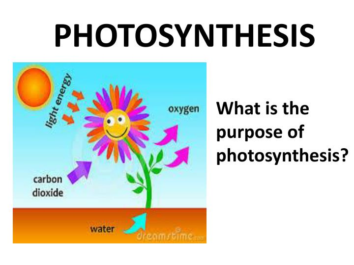 photosynthesis ppt presentation 1 : 1 photosynthesis light-dependent reactions (light reactions) use light energy to split water and use electrons to reduce nadp+ and make atp- produce atp, nadph & o2 light-independent reactions (dark reactions) (calvin cycle) use atp & nadph to convert co2 to sugars the light reactions take place within the membranes of the.