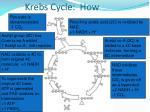 krebs cycle how
