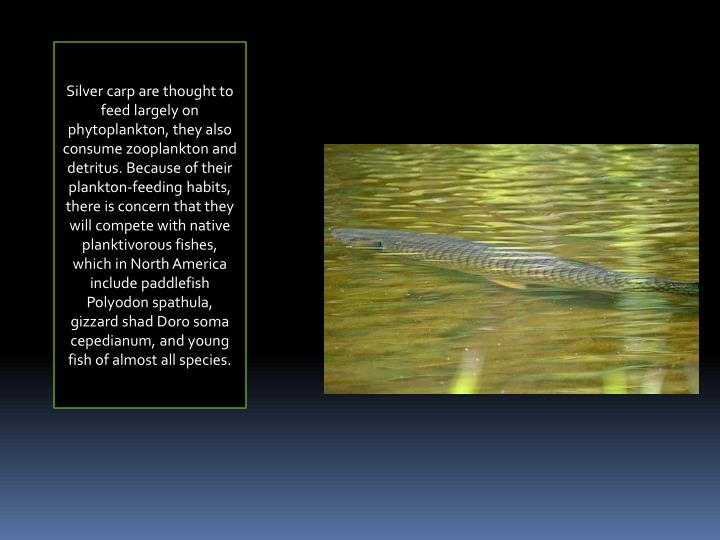 Silver carp are thought to feed largely on