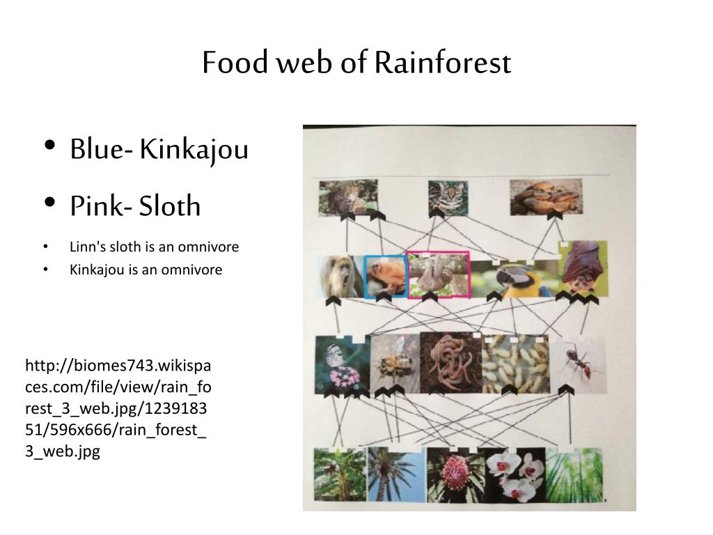 PPT - Rain Forest Biome PowerPoint Presentation - ID:1912637