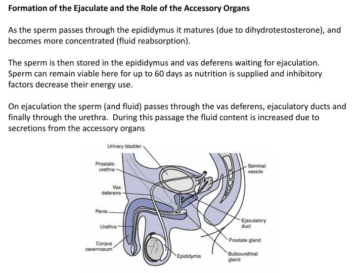 Formation of the Ejaculate and the Role of the Accessory Organs