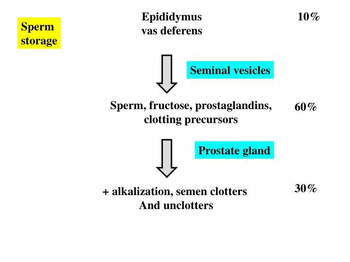 Epididymus
