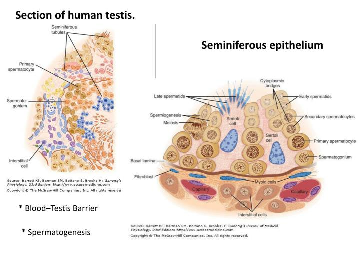 Section of human testis.
