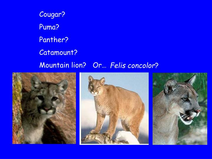 Cougar?