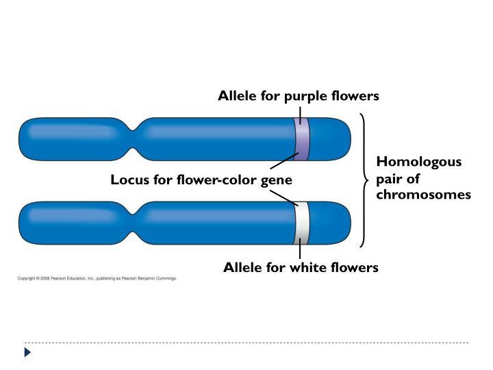Allele for purple flowers