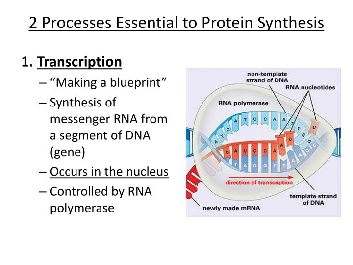 Ppt chapter 12 protein synthesis powerpoint presentation id 2 processes essential to protein synthesis malvernweather Choice Image