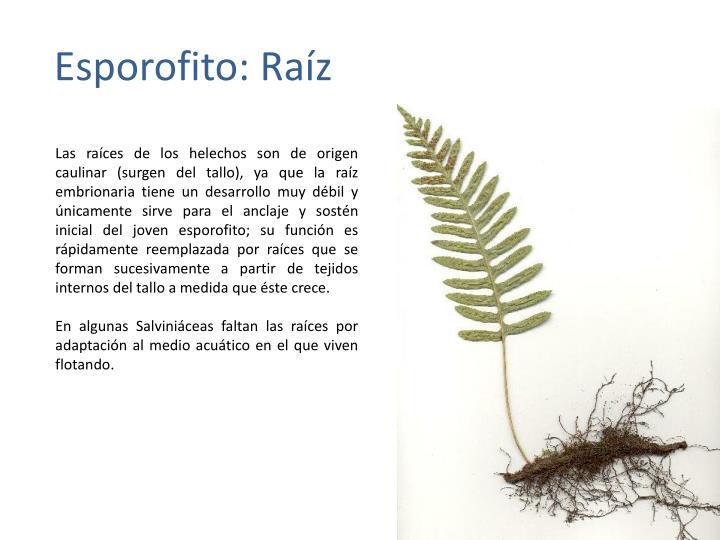 PPT - Sistemática de Pterofita (helechos y afines) PowerPoint ...