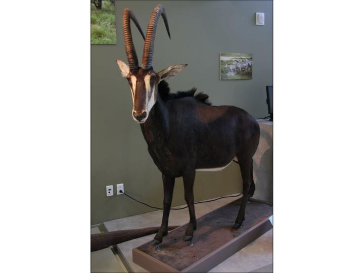 Dik dik small antelope 7 16 lbs monogamous territorial