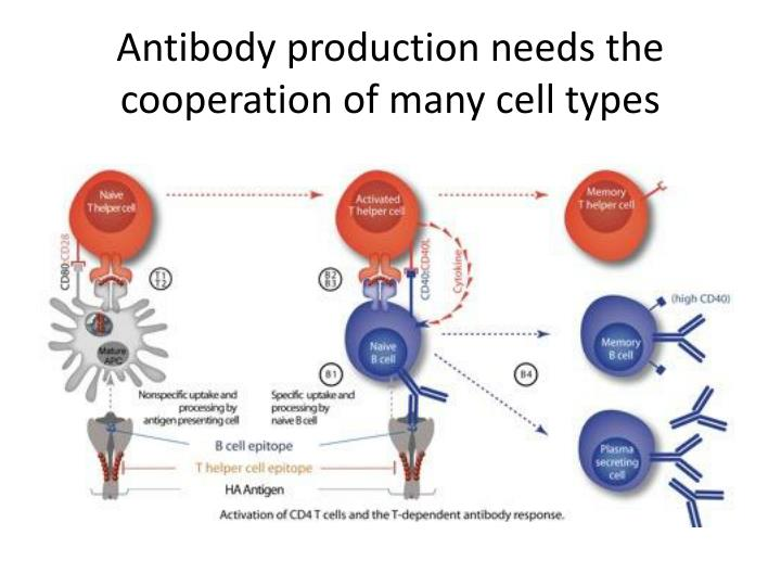 Antibody production needs the cooperation of many cell types