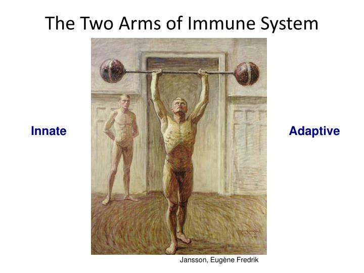 The Two Arms of Immune System