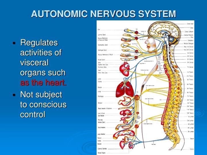 Regulates activities of visceral organs such