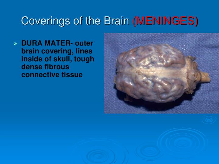 DURA MATER- outer brain covering, lines inside of skull, tough dense fibrous connective tissue