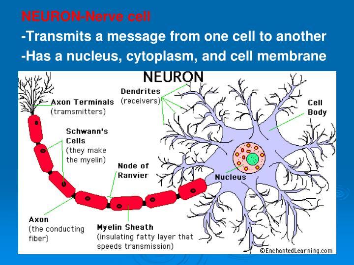 NEURON-Nerve cell