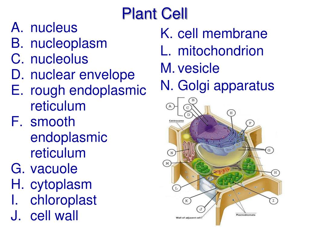 PPT - Cell Structure and Function PowerPoint Presentation ...