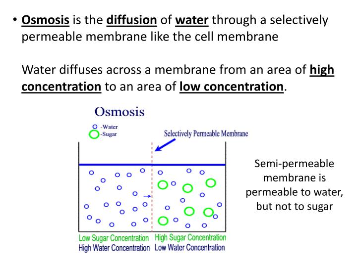 diffusion across a selectively permeable membrane essay
