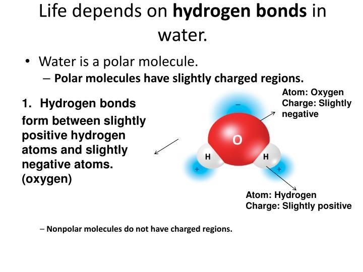 Life depends on hydrogen bonds in water
