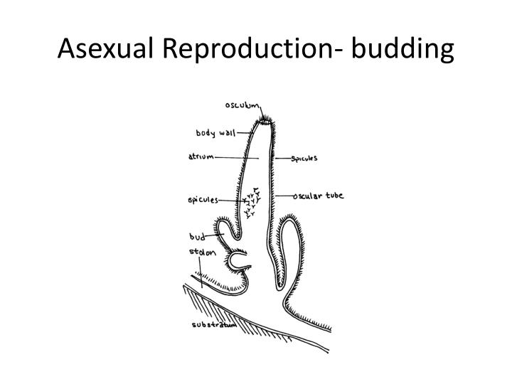 Asexual Reproduction- budding