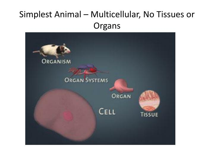Simplest Animal – Multicellular, No Tissues or Organs