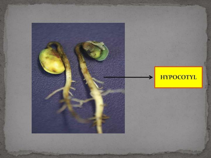 HYPOCOTYL