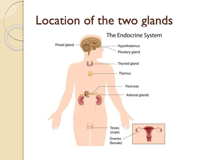Ppt Pineal And Pancreas Gland Powerpoint Presentation Id1927625