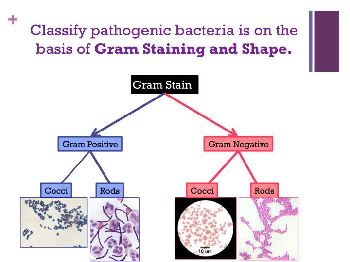 gram positive pathogenic cocci essay Gram‐negative rods and cocci gram‐positive bacteria many with pathogenic among the gram‐negative cocci are a group of anaerobic diplococci belonging.