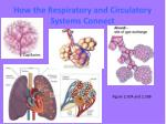 how the respiratory and circulatory systems connect2