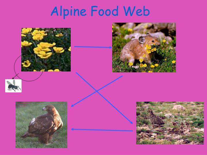 Alpine Food Web