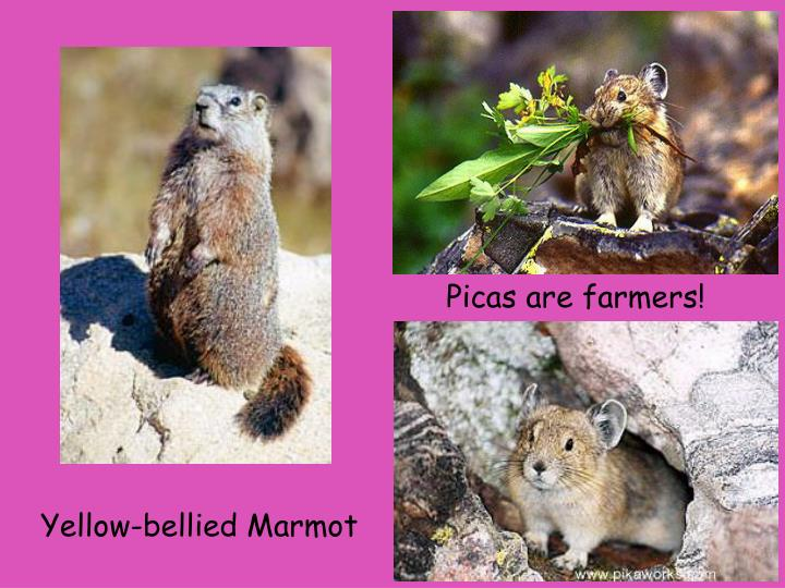 Picas are farmers!
