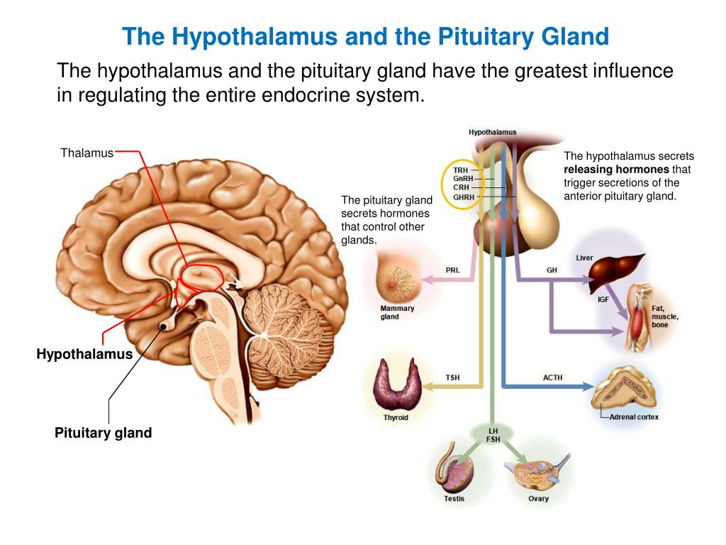 Pituitary Gland U2013 Control And Hormones Of Anterior And Manual Guide