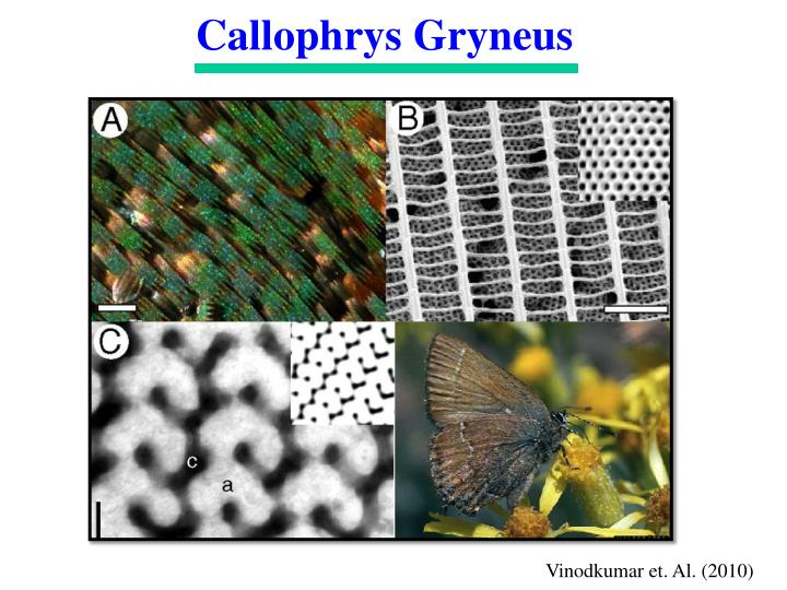 Callophrys