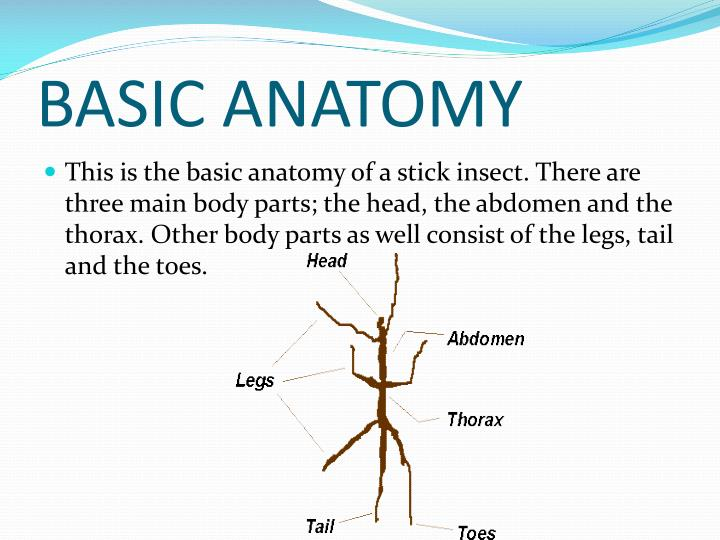 Outstanding Stick Insect Anatomy Adornment - Internal organs diagram ...