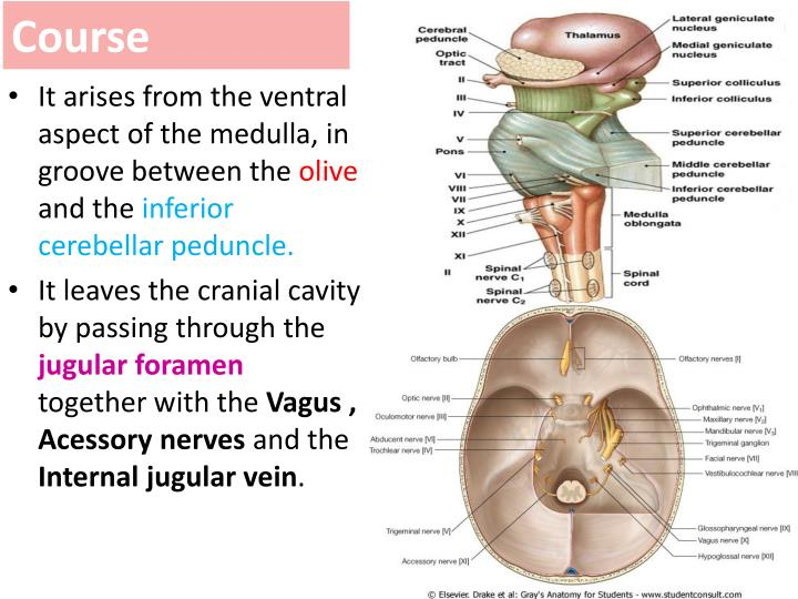 Ppt Glossopharyngeal And Vagus Nerves Powerpoint Presentation Id
