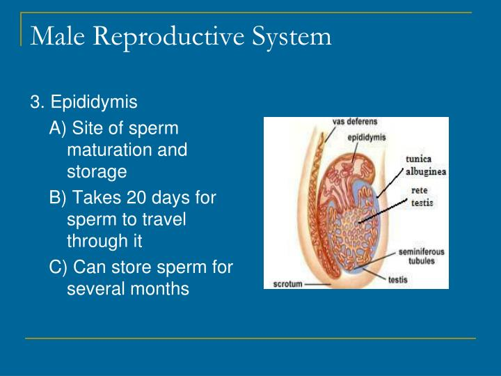PPT - Male Reproductive System PowerPoint Presentation - ID:1933740