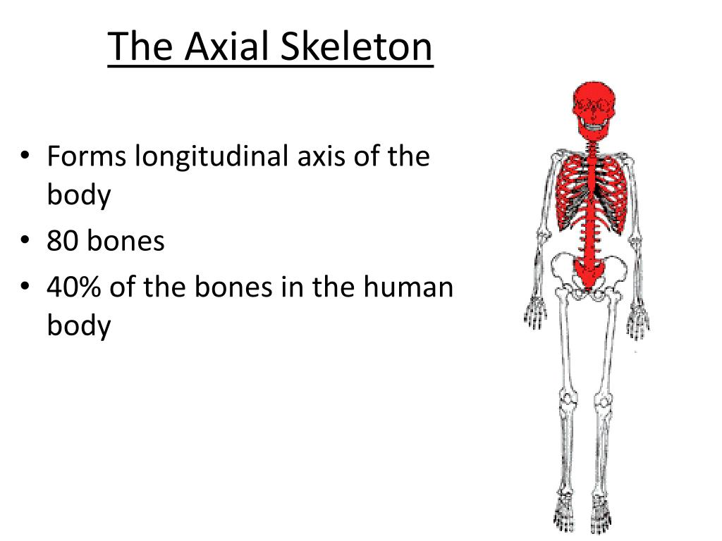 Ppt The Axial Skeleton Powerpoint Presentation Id1934155