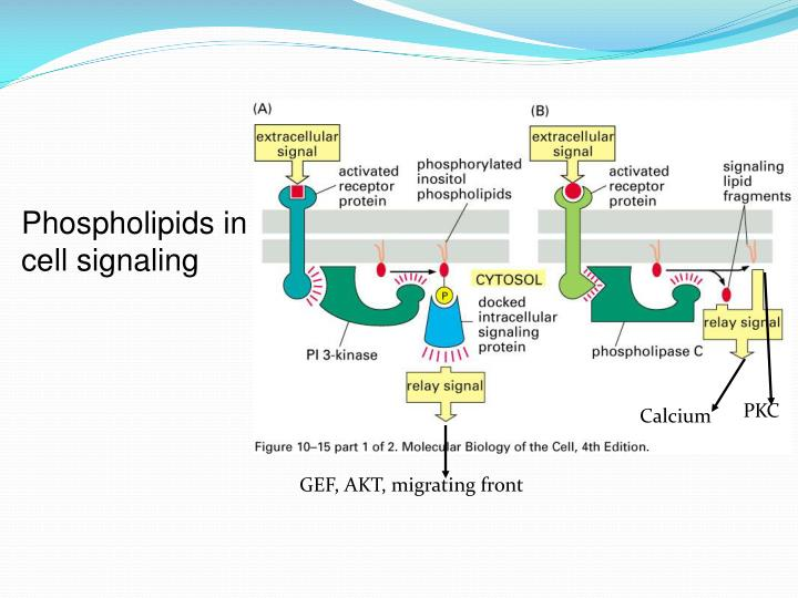 Phospholipids in cell signaling